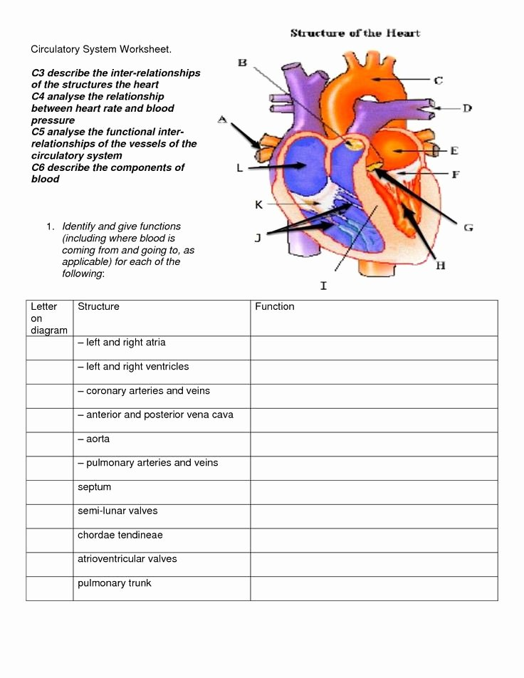 Circulatory System Worksheet Pdf Best Of Circulatory System Diagram for Kids