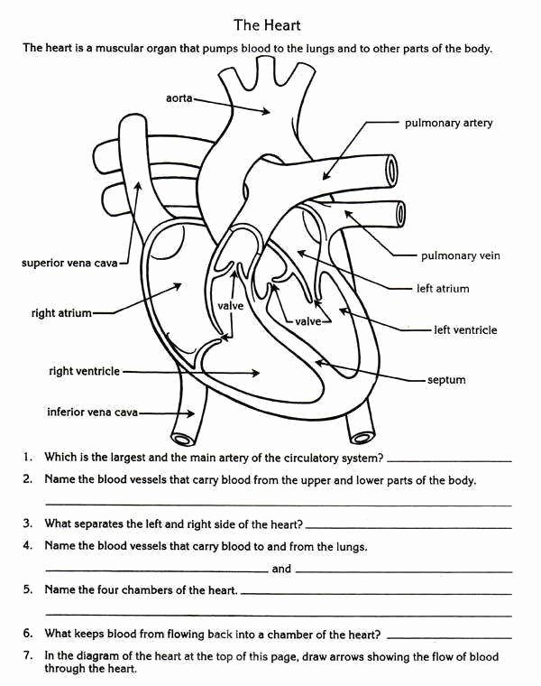 Circulatory System Worksheet Pdf Unique the Circulatory System Worksheet