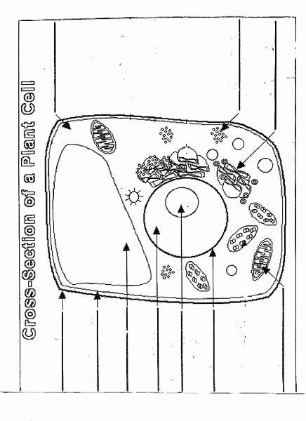 Cross Section Worksheet 7th Grade Luxury Cross Section Of A Plant Cell Lesson Plan for 7th 12th