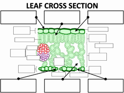 Cross Section Worksheet 7th Grade New Structure Of the Leaf by Amcooke