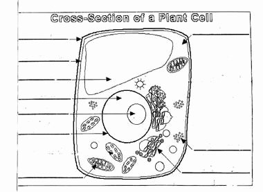 Cross Section Worksheet 7th Grade Unique Plant Cell Diagram Worksheet