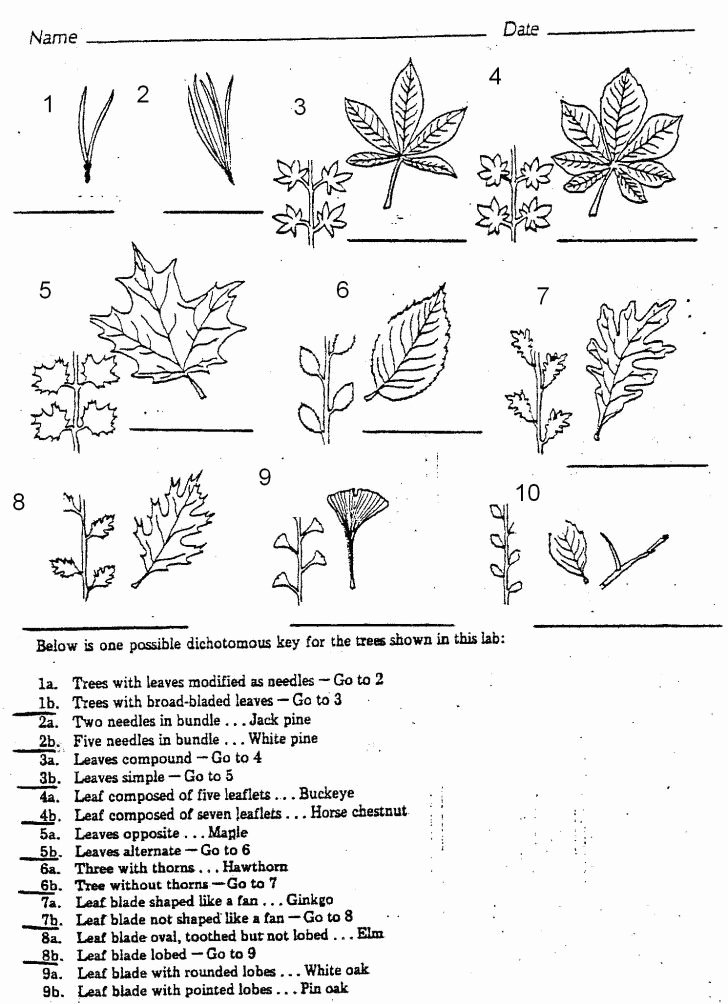 Dichotomous Key Worksheet Middle School Best Of Plants 7 Leaf Tree Id Key Review Dichotomous Keys