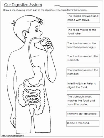 Digestive System Worksheet Answer Key Awesome Free Digestive System Worksheet
