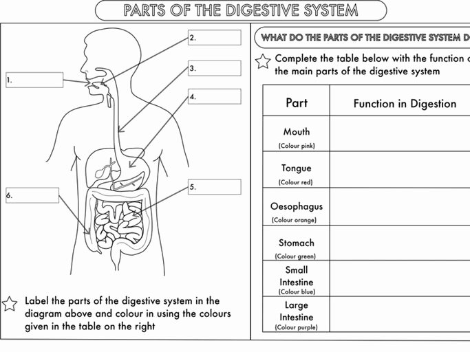Digestive System Worksheet Answer Key Beautiful Year 4 Science Animals Including Humans Digestion