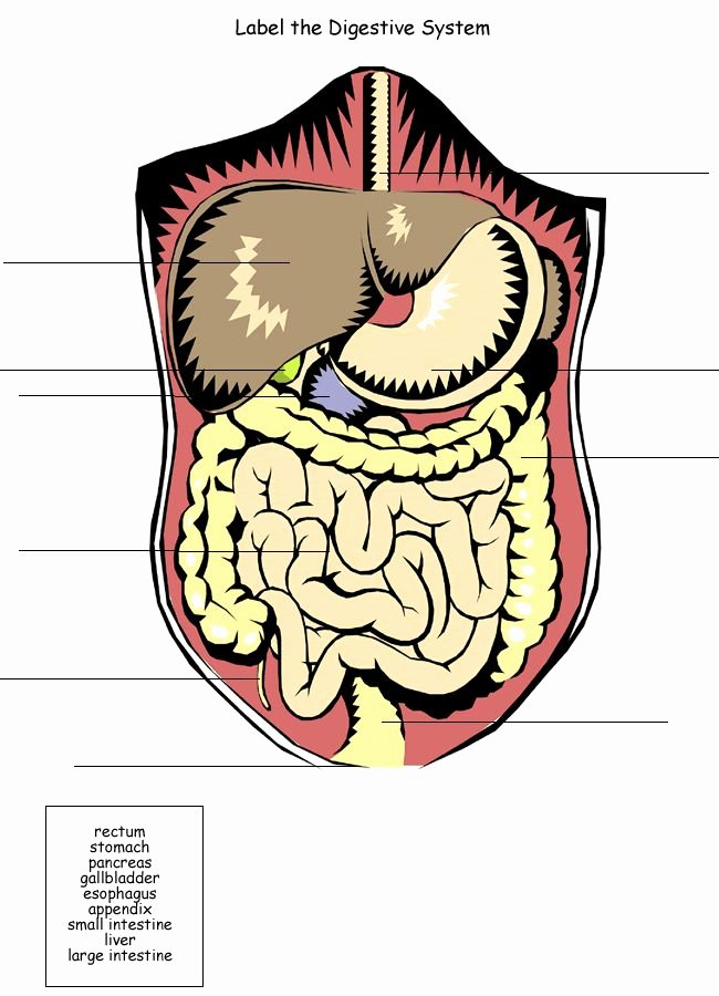 Digestive System Worksheet High School Awesome Pinterest