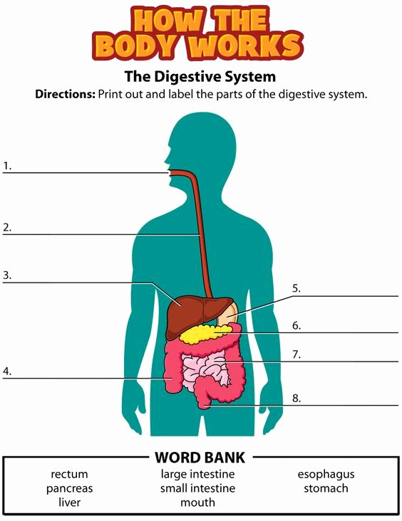 Digestive System Worksheet High School Beautiful Digestive System Label Movie Quiz