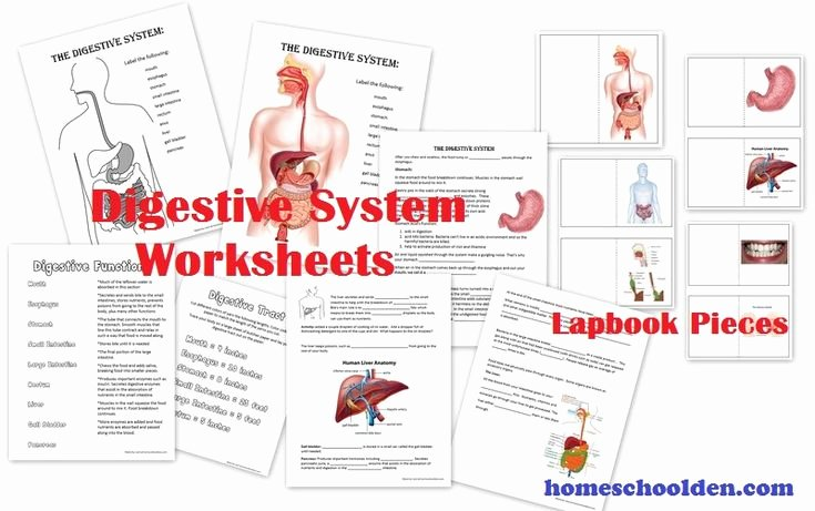 Digestive System Worksheet High School Luxury 162 Best Images About Human Body On Pinterest