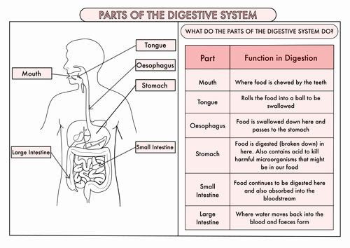 Digestive System Worksheet Pdf Best Of Science Poster Pack the Digestive System and Teeth for