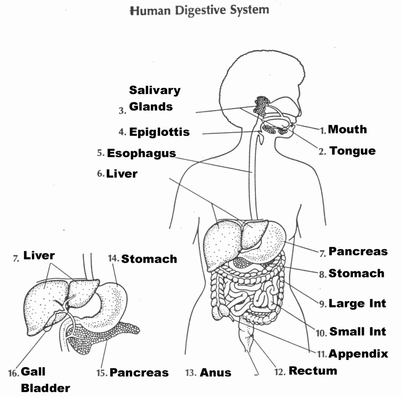Digestive System Worksheet Pdf Elegant Digestive System Diagram for Kids — Untpikapps