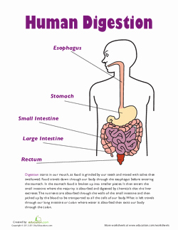 Digestive System Worksheet Pdf Lovely All About the Digestive System Lesson Plan
