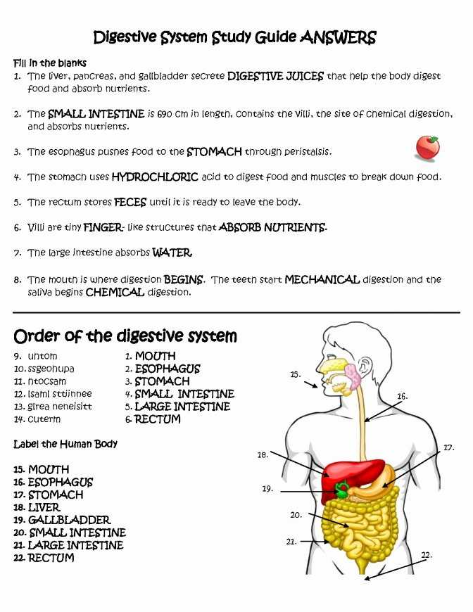 Digestive System Worksheet Pdf Lovely Digestive System Worksheet
