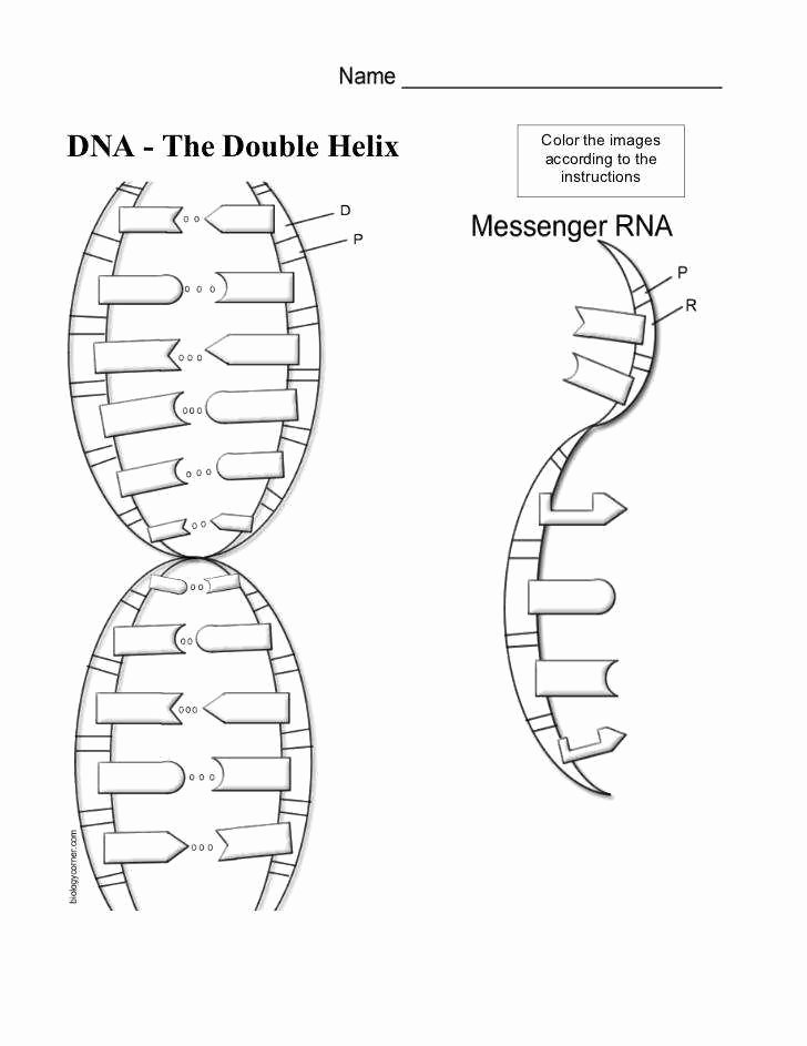 Dna and Rna Worksheet Answers Unique Dna Worksheet