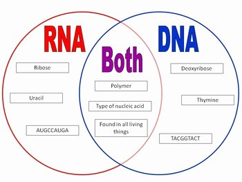 Dna and Rna Worksheet Elegant Rna Vs Dna Card sort by Amanda Leslie
