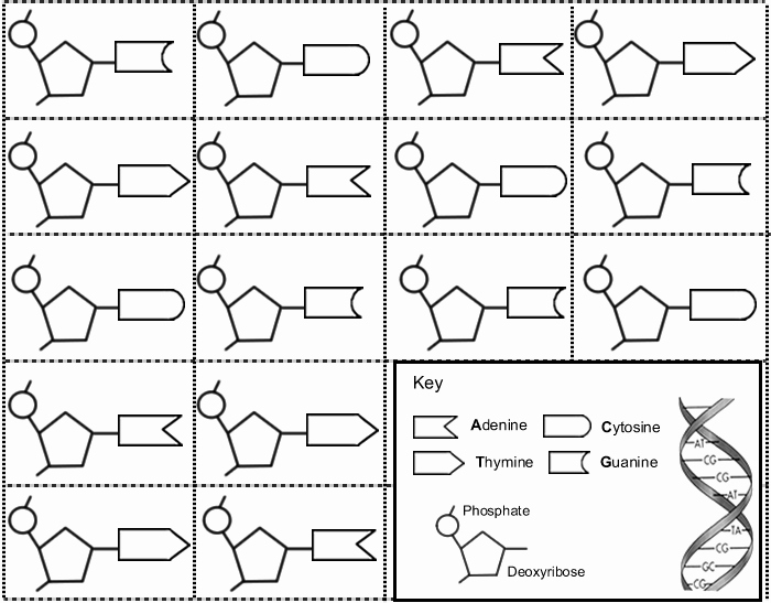 Dna Base Pairing Worksheet Awesome Constructing A Dna Ladder Ag Biology