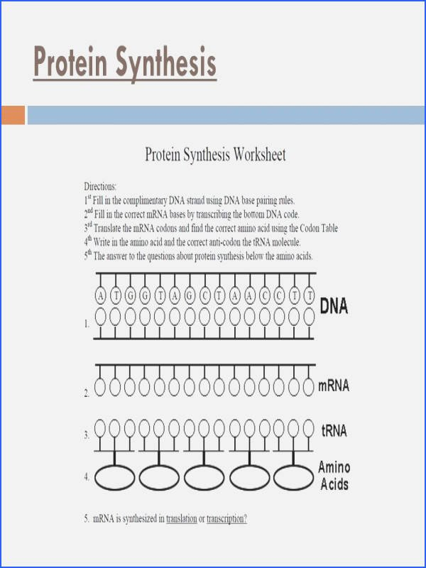 Dna Base Pairing Worksheet Lovely Transcription and Translation Worksheet Answers