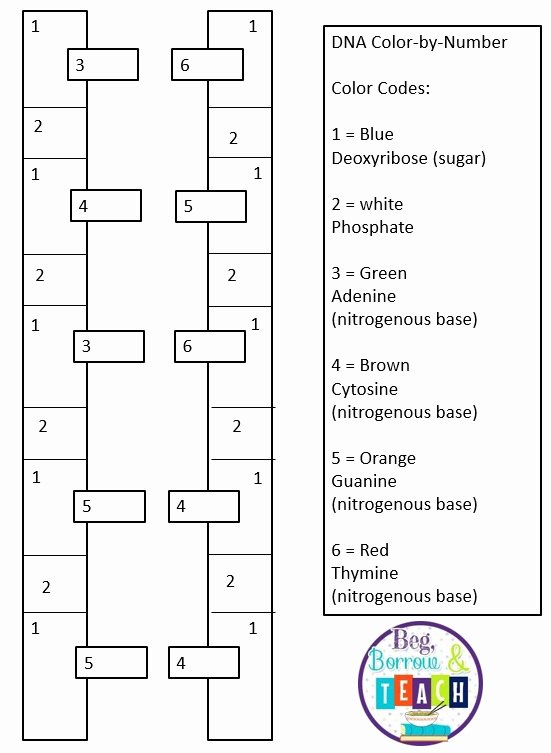 Dna Base Pairing Worksheet New Beg Borrow and Teach Dna Color by Number