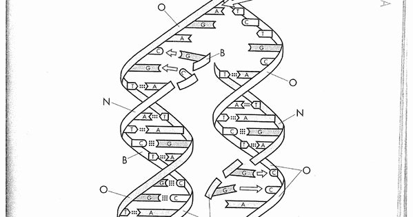 Dna Replication Coloring Worksheet Awesome Dna Replication Coloring Worksheet On Dna Coloring