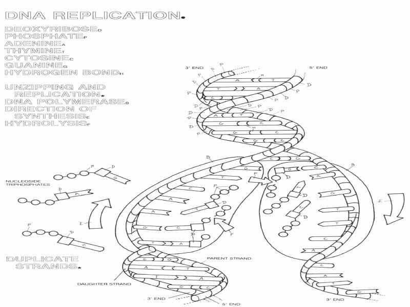 Dna Replication Coloring Worksheet Beautiful the Double Helix Coloring Worksheet Free Printable