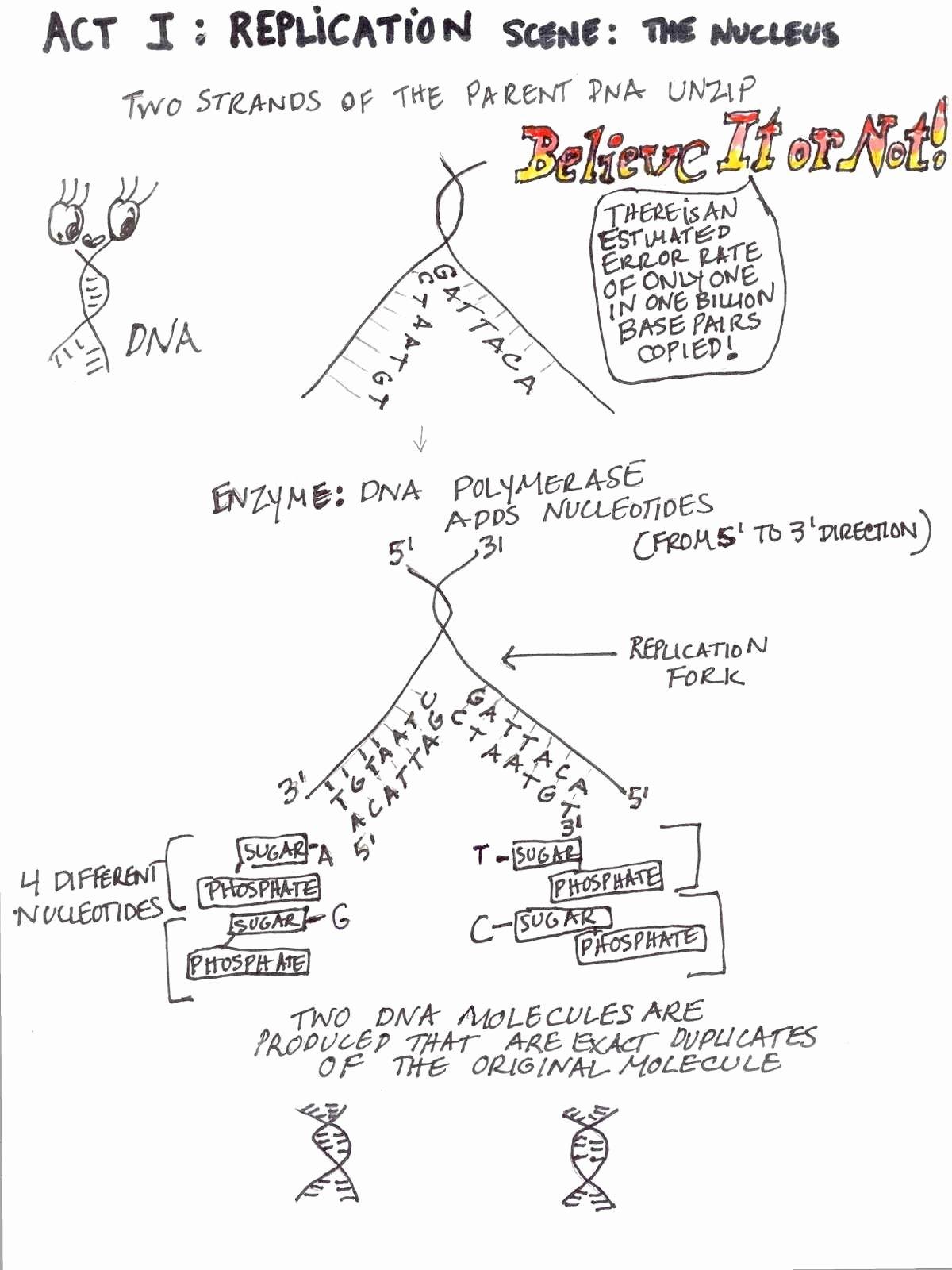 Dna Replication Coloring Worksheet Lovely Transcription and Translation Practice Worksheet Answer