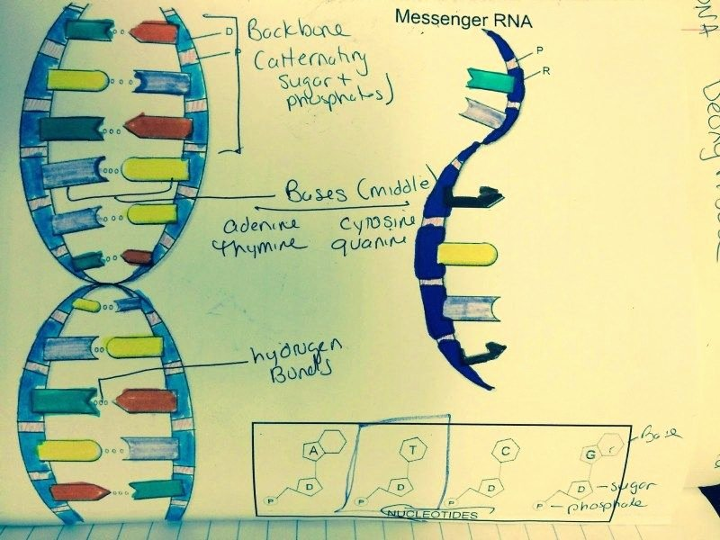Dna Replication Coloring Worksheet New Dna the Double Helix Coloring Worksheet Answers