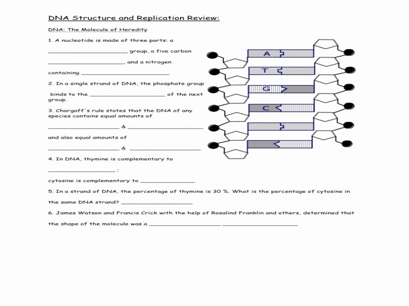 Dna Replication Review Worksheet Lovely Dna Structure and Replication Review Free Printable