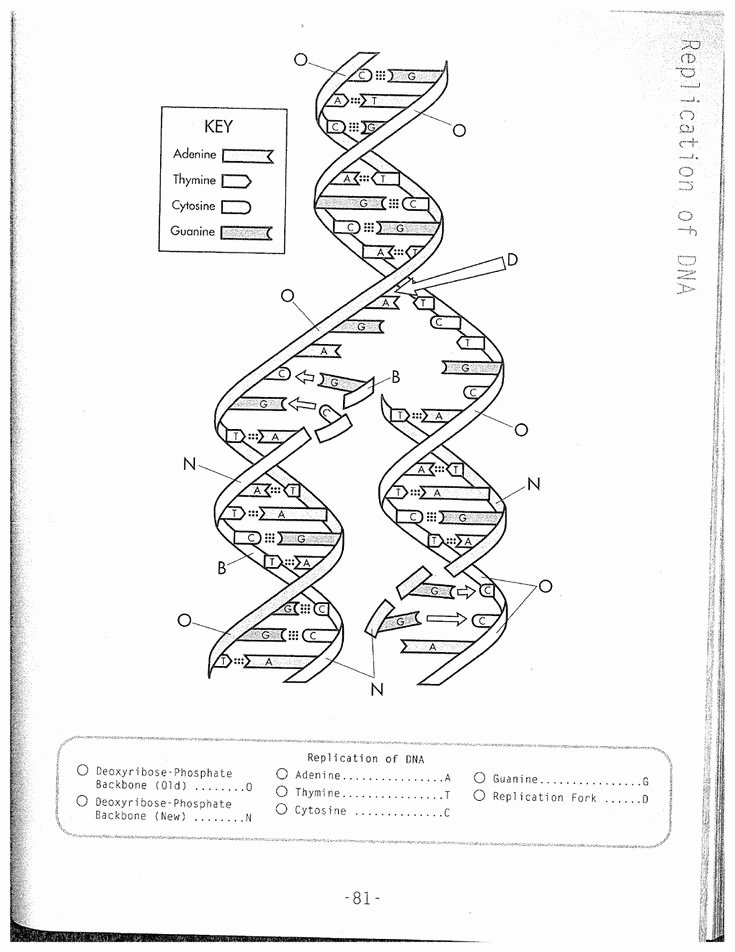 Dna Structure Worksheet Answer Inspirational Dna Replication Coloring Worksheet On Dna Coloring