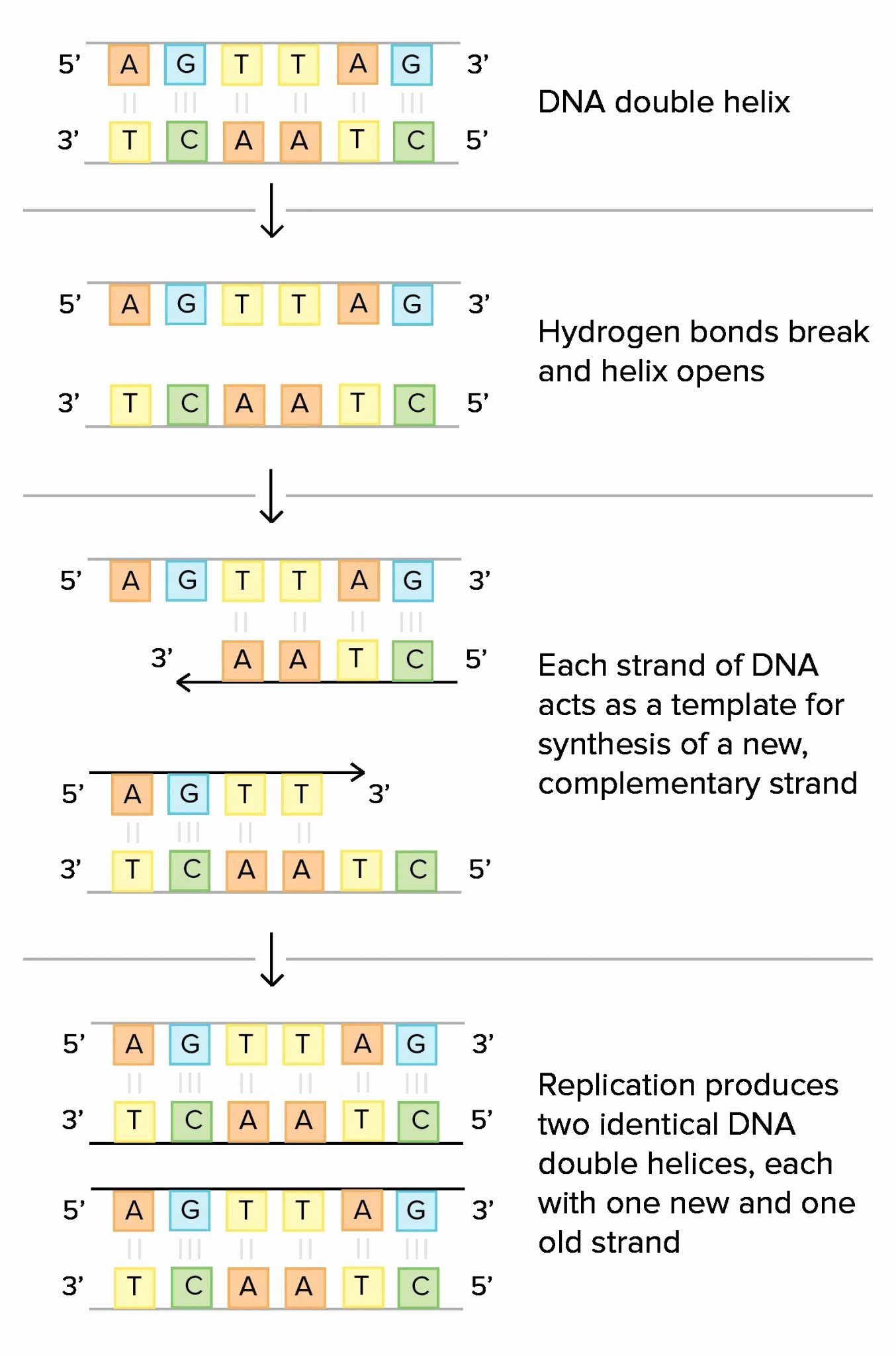 Dna Structure Worksheet Answer Key Beautiful Dna the Double Helix Coloring Worksheet Answer Key