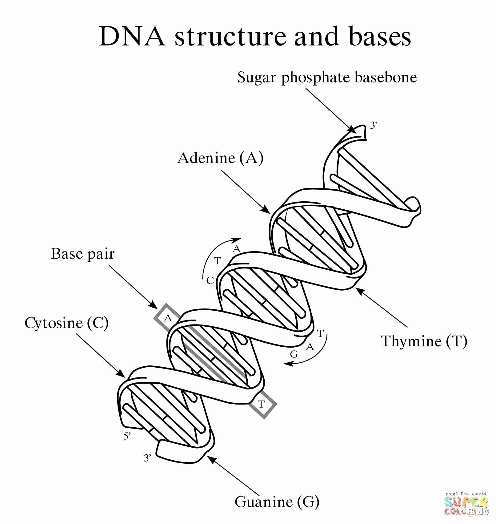 Dna Structure Worksheet Answer Key Unique the Double Helix Worksheet Answers