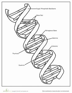 Dna the Double Helix Worksheet Best Of Dna Coloring Page Genetics