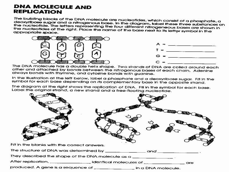 Dna the Double Helix Worksheet Unique Dna Worksheet