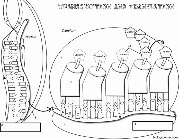 Dna Transcription and Translation Worksheet Best Of Coloring Worksheet that Explains Transcription and