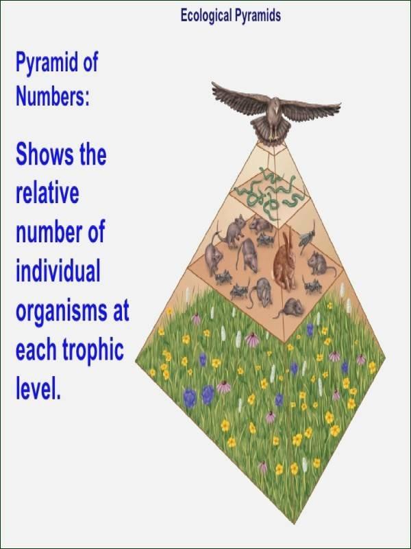 Ecological Pyramids Worksheet Answer Key Awesome Ecological Pyramids Worksheet Answers
