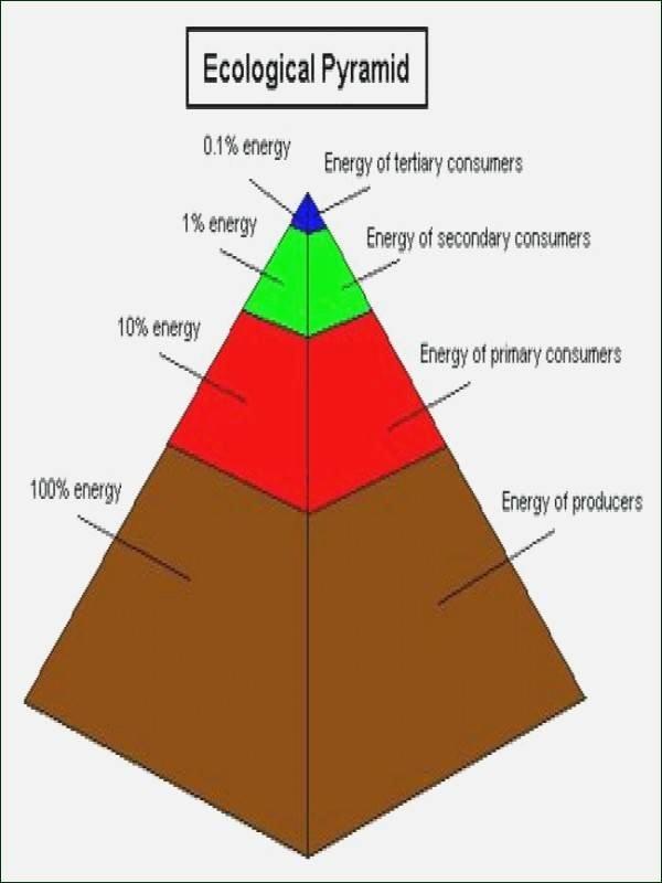 Ecological Pyramids Worksheet Answer Key Inspirational Ecological Pyramids Worksheet Answers