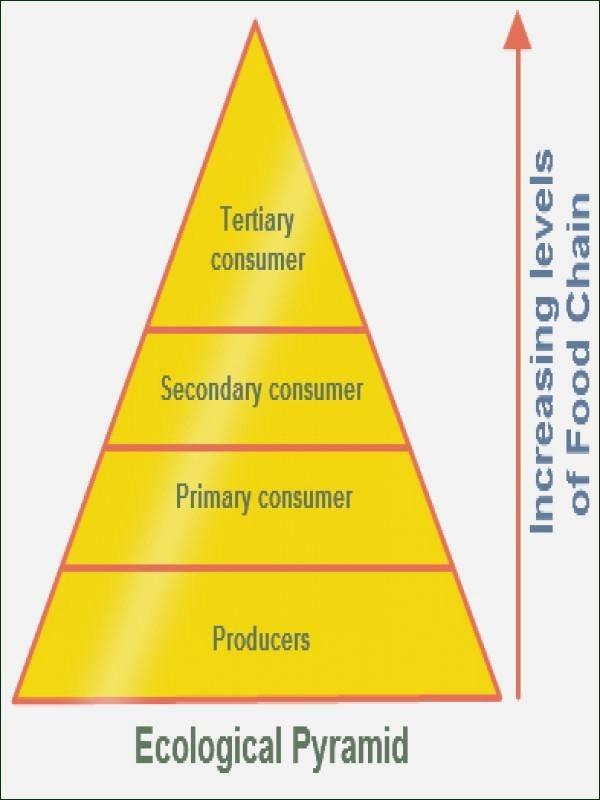 Ecological Pyramids Worksheet Answers Elegant Ecological Pyramids Worksheet Answers