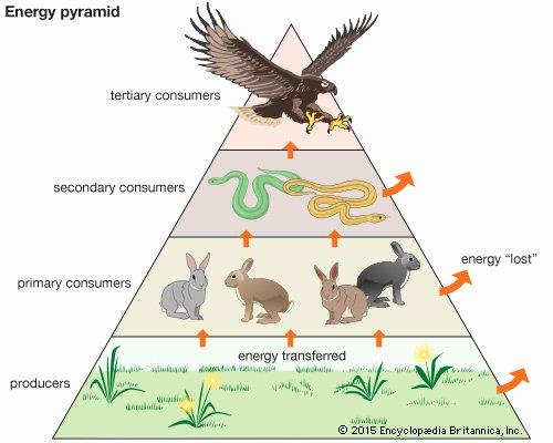 Energy Flow In Ecosystems Worksheet Elegant Ecosystem Kids Britannica Kids