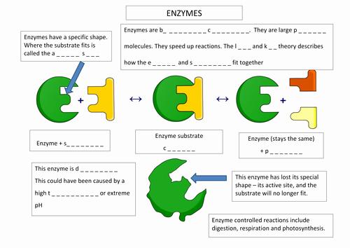 Enzymes Worksheet Answer Key Elegant Enzyme Annotation Worksheet by Aaron Chandler Teaching