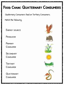 Food Chain Worksheet Pdf Elegant Food Chain Facts Worksheets Species Energy Pdf Resource