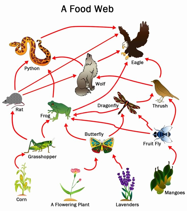 Food Chains and Webs Worksheet Awesome Best 25 Food Chains Ks2 Ideas On Pinterest