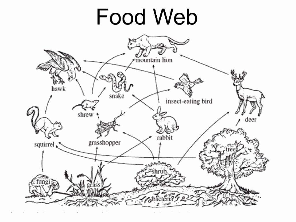 Food Chains and Webs Worksheet Beautiful Food Webs Mr Calaski