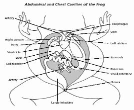 Frog Dissection Pre Lab Worksheet Inspirational 44 Best Images About Frog On Pinterest