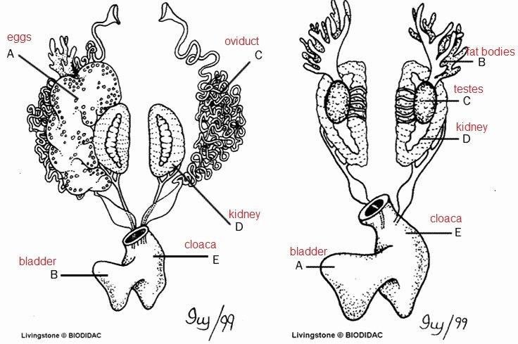 Frog Dissection Worksheet Answer Key Elegant Frog Review Labeling Key