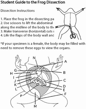 Frog Dissection Worksheet Answer Key Luxury Frog Dissection Answer Key by Biologycorner
