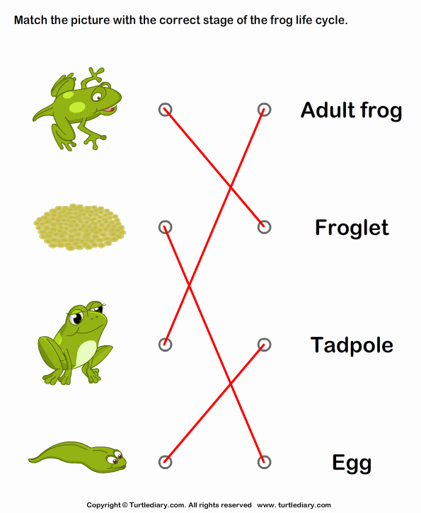 Frog Life Cycle Worksheet Elegant Frog Life Cycle Match with Correct Name