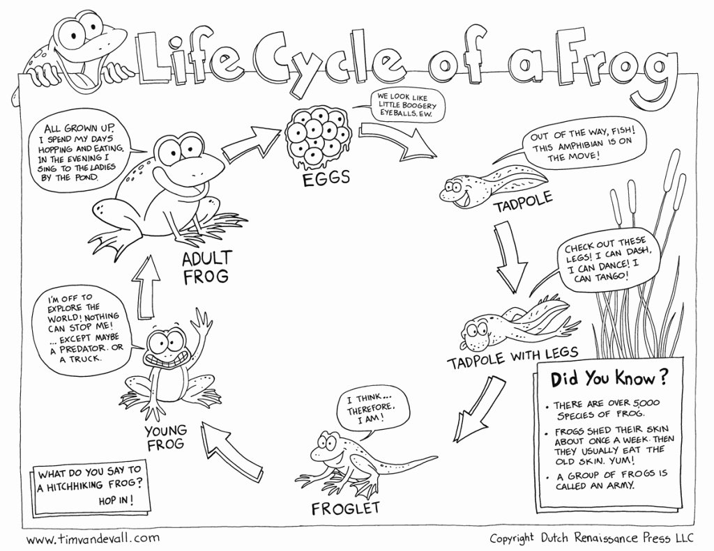 Frogs Life Cycle Worksheet New Life Cycle A Frog Ks1