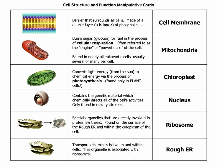 Function Of the organelles Worksheet Fresh 19 Best Resume Images On Pinterest