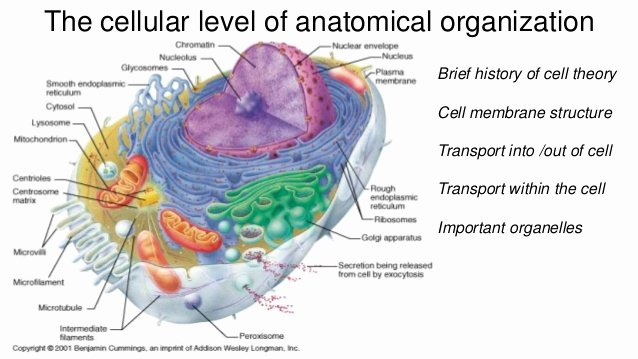 Function Of the organelles Worksheet New Cell theory Membrane Structure Cell Transport and