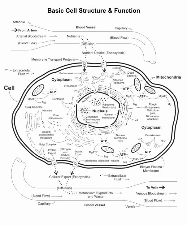 Function Of the organelles Worksheet Unique Cell organelles and their Functions Bing