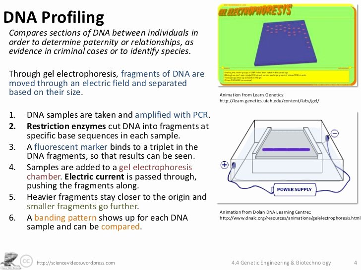 Gel Electrophoresis Worksheet Answers Awesome topic 3 Genetics Monique Lowes Ib Blog