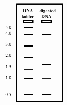 Gel Electrophoresis Worksheet Answers Fresh Quiz & Worksheet Analyzing Results Of Agarose Gel