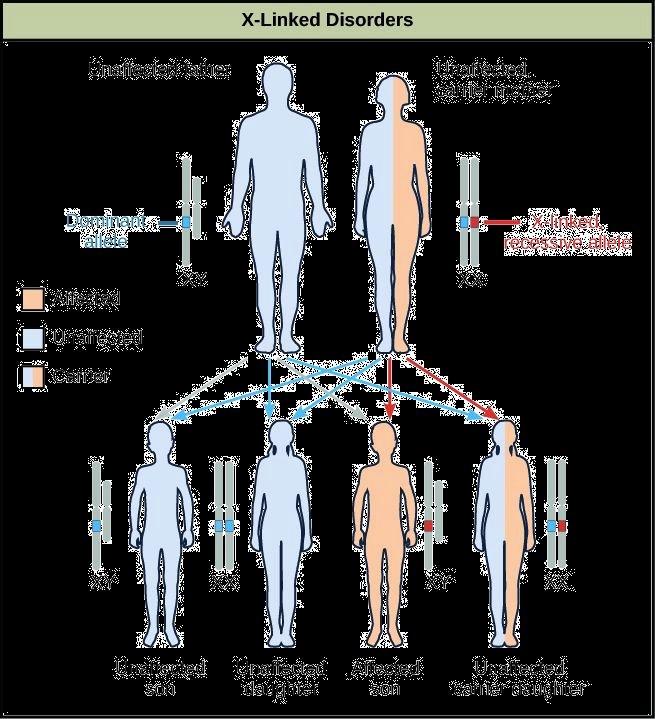 Genetics X Linked Genes Worksheet Lovely Genetics X Linked Genes Worksheet